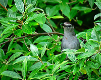 Gray Catbird. Image taken with a Fuji X-H1 camera and 100-400 mm OIS lens