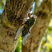 The chorus cicada, Amphipsalta zelandica, is the most common species of cicada in New Zealand, where it is endemic and found in most areas. They typically live in forests and areas with open bush, where their left-over nymph skins can be seen on tree trunks and branches during the summer months. Cicadas are a superfamily, the Cicadoidea, of insects in the order Hemiptera (true bugs). They have an exceptionally loud song, produced in most species by the rapid buckling and unbuckling of drumlike tymbals. Photographed on the Pororari River Track in Paparoa National Park, between Westport and Greymouth in the West Coast region of New Zealand's South Island. The track follows an impressive limestone gorge along the river with big rocks set in deep pools, through strikingly beautiful forest subtly transitioning between subtropical and temperate ecozones. Pororari River flows northwest from its sources in the Paparoa Range to reach the Tasman Sea at Punakaiki. Stroll 1 km to a seat overlooking an attractive river bend. At about 3.5 km turn left at the Inland Pack Track to soon reach the swing bridge, a good turnaround point.