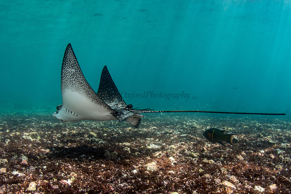 Spotted eagle ray (Aetobatus narinari)<br /> Rabida Island<br /> Galapagos<br /> Pacific Ocean<br /> Ecuador, South America<br /> IUCN Red Data: near threatened