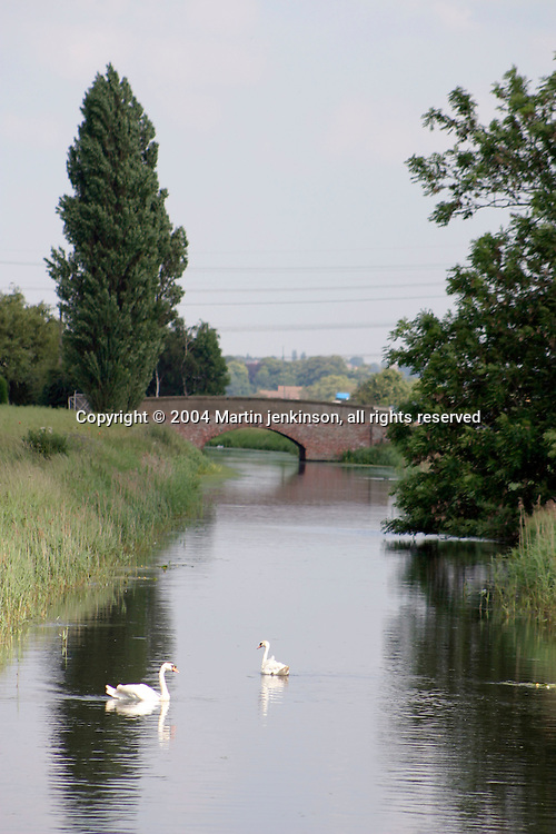 White swans on one of the irrigation channels in Lincolnshire.