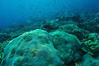Healthy coral reef, Sangalaki, Kalimantan, Indonesia.