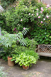 Container group on terrace. Melianthus major and Rosa 'Constance Spry' with hostas and clematis