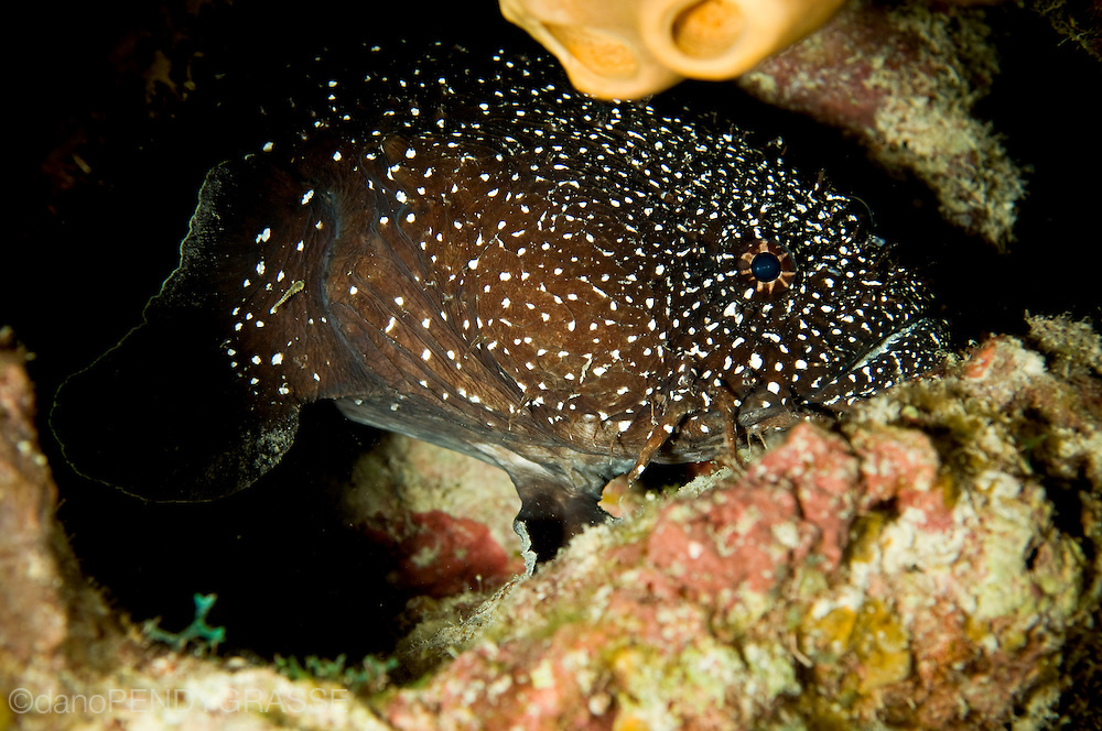 A Whitespotted toadfish (Sanopus astrifer) in Belize, an endemic fish it is found primarily around Turneffe Atoll.
