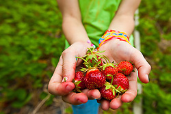 A hand full of strawberries at Heron Pond Farm in South Hampton, New Hampshire.