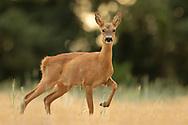 Western Roe Deer (Capreolus capreolus) female in wheat stubble South Norfolk, UK. July