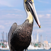 An adult Brown Pelican, Pelecanus occidentalis, in non breeding plummage standing on a piling at ac marina. Fort Myers, Florida, USA