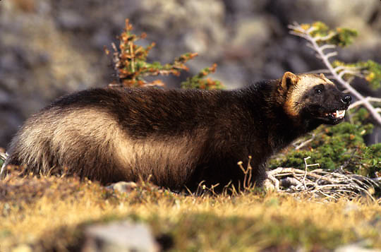 Wolverine, (Gulo gulo) In foothills of Rocky mountains. Montana. Fall. Captive Animal.
