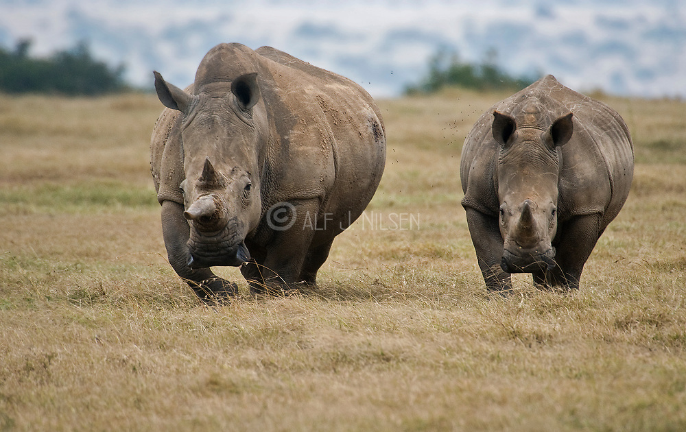 Two big white rhinos (Ceratotherium simum) with prolific horns in Solio Ranch, Kenya.
