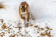 Charging Mountain Lion
