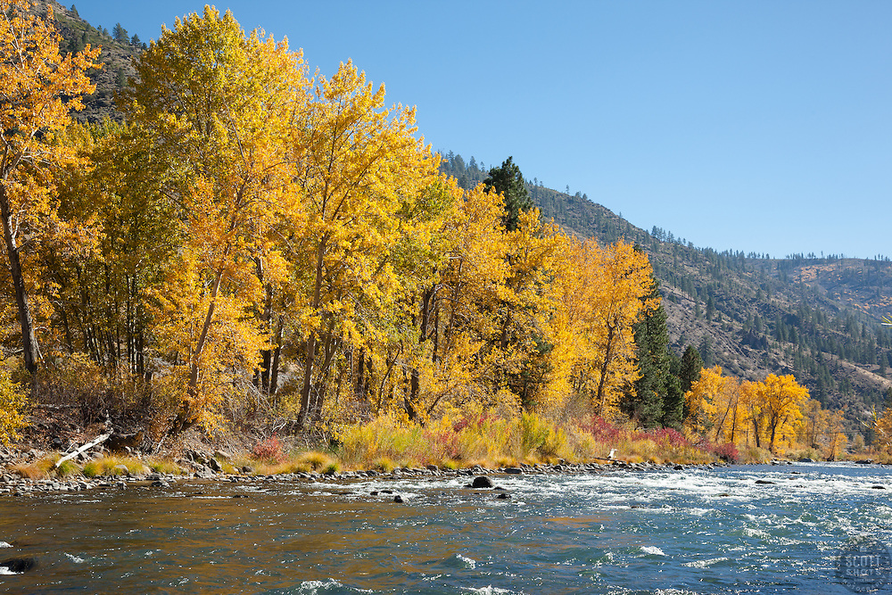 """""""Truckee River in Autumn 10"""" - Photograph of yellow leaved cottonwood trees, taken along the shore of the Truckee River in Autumn."""