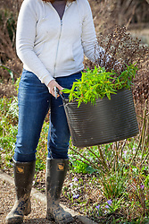 Cutting back and tidying a border in late winter or early spring. Carrying away old material in a tub trug