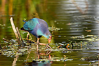 Purple Swamphen, (Porphyrio porphyrio), an introduced species to Florida now endemic throughout S. Florida,  Wakodahatchee Wetlands, Delray Beach, Florida, USA   Photo: Peter Llewellyn