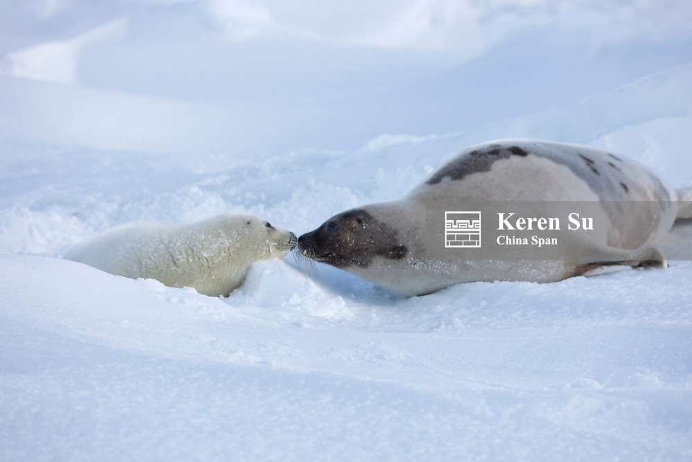 Harp seals, mother with pup, on ice, Iles de la Madeleine, Quebec, Canada