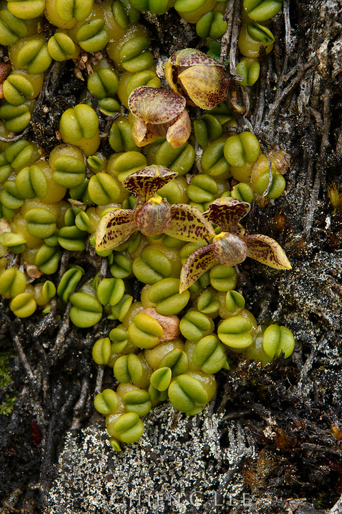 This miniature orchid (Pedilochilus perpusillum) grows on the trunks of tree ferns high in the alpine habitats of New Guinea's mountains.