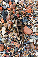 Fragment of herbivore jawbone on the bank of the Thames, London, UK