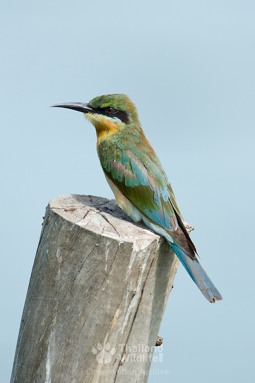 Juvenile blue-tailed bee-eater (Merops philippinus) is a near passerine bird in the bee-eater family Meropidae. It breeds in sou
