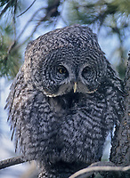 Great Gray Owl (Stix nebulosa), Fish Creek Provincial Park, Calgary, Alberta, Canada - Photo: Peter Llewellyn