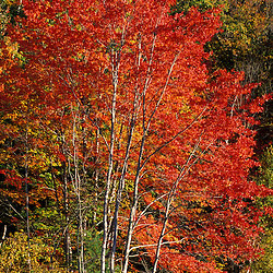 Bartlett, NH.  Red maple, Acer Rubrum, in fall.  Along the Saco River.  White Mountain N.F.