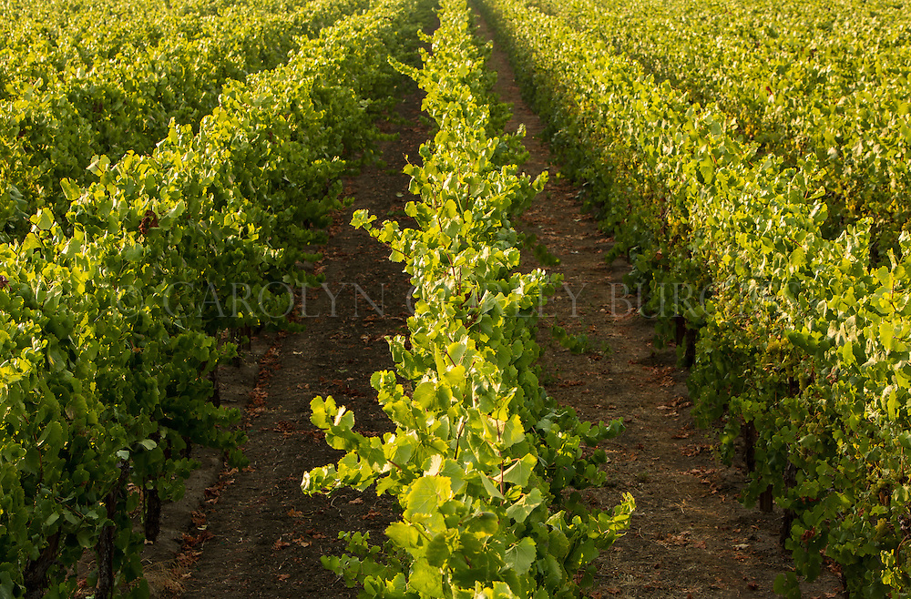 Overhead view of vineyard rows