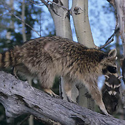 Raccoon, (Procyon lotor) Adult carrying young. Montana. Captive Animal.