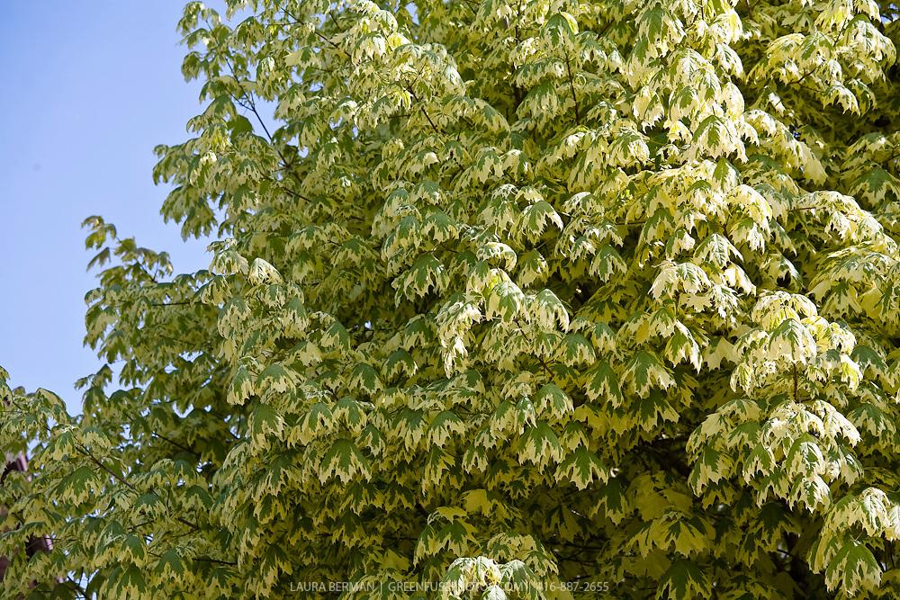 Variegated Harlequin Maple (Acer platanoides 'Drummondii')