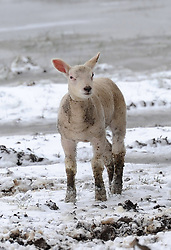 Spring lambs brave the cold in Bedford as unseasonal snowfall blankets the country, UK, March 24 2013.  Photo by Matthew Power / i-Images...