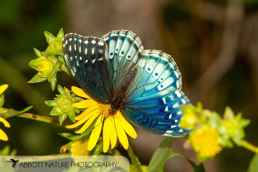 Diana Fritillary (Speyeria diana) - female<br /> OKLAHOMA: McCurtain Co.<br /> Ouachita National Forest; FR 20590<br /> 20-June-2015<br /> J.C. Abbott #2747 &amp; K.K. Abbott