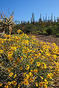 Brittlebush, (Encelia farinosa), and saguaro cactus, (Carnegiea gigantea), grow in the Sonoran Desert along the Starr Pass Trail in Tucson Mountain Park in the Tucson Mountains, west of Tucson, Arizona, USA.