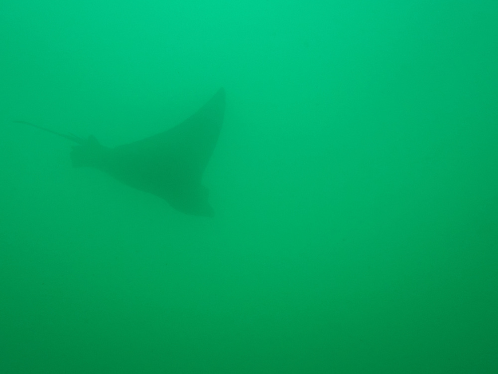 A spotted eagle ray, Kicker rock, Galapagos, Ecuador.