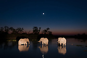 Three African elephants, Loxodonta africana, drinking in the Khwai river at night, illuminated with the light painting technique.