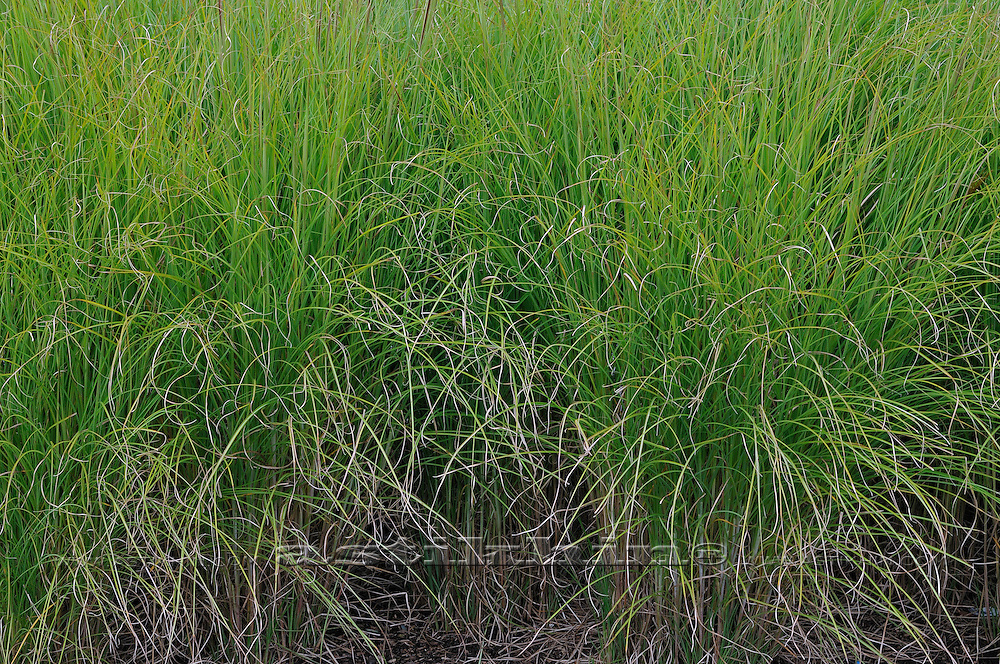 Green grass in meadow.