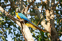 Blue-and-yellow Macaw (Ara ararauna),  The Pantanal, Mato Grosso, Brazil