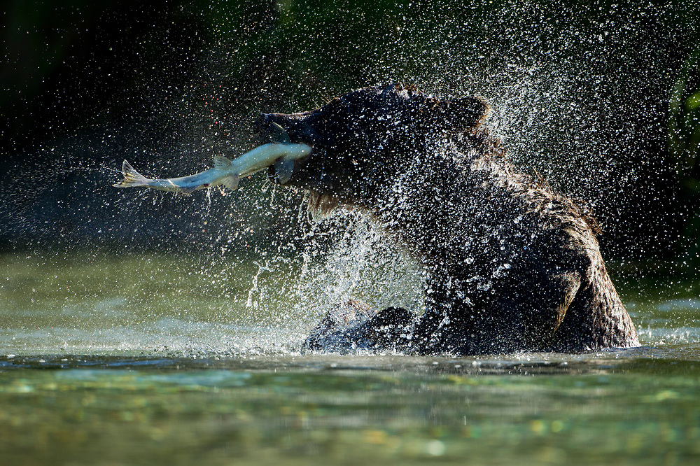 USA, Alaska, Katmai National Park, Grizzly Bear (Ursus arctos) shaking off water while fishing in salmon spawning stream near Kuliak Bay on summer morning