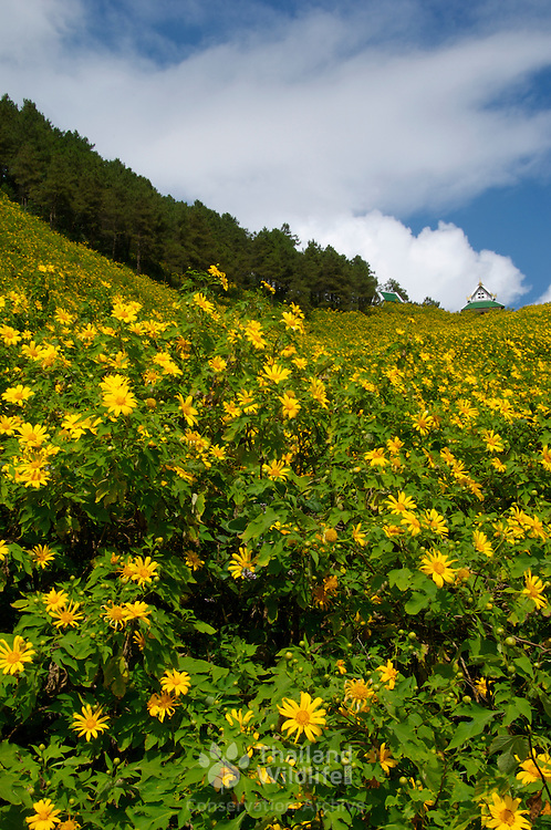 Thai sunflowers, Tithonia Diversifolia, or Bua Tong blooms at Tung Bua Tong near Khun Yuam and Mae Sariang northwest Thailand. The blooming takes place in November each year for one month only.