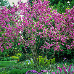 Cercis siliquastrum in blossom in the Scree garden at Beth Chatto's. Judas tree