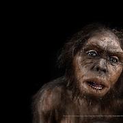 Homo habilis. Museo de la Evolución Humana (MEH). Burgos. Spain.
