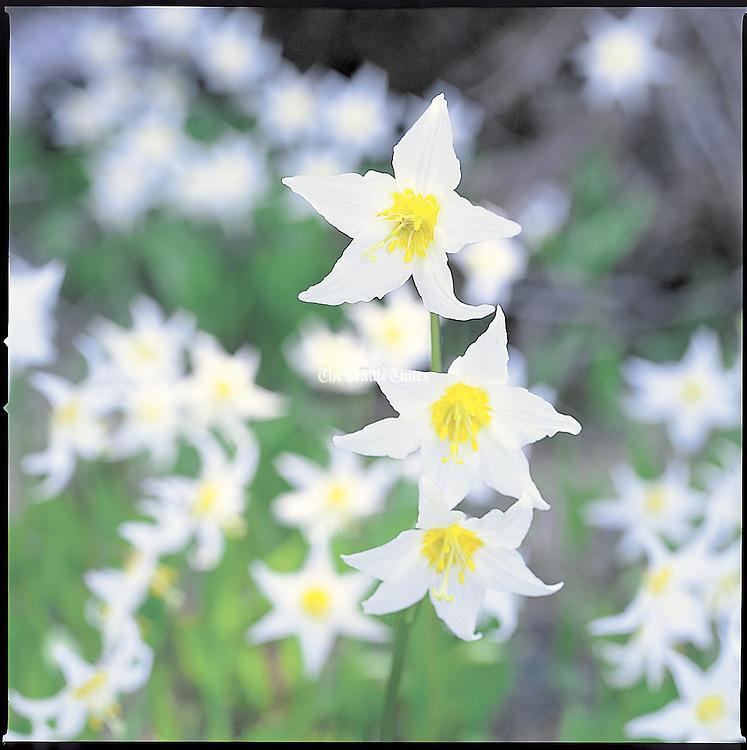 Alp lily (Benjamen Benschneider / The Seattle Times)