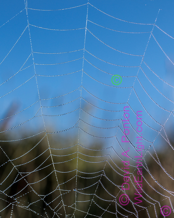 Dew decorates an orb web in the Valle Grande, revealing the surprising uniformity  created by the spider, © 2017 David A. Ponton [Prints to 8x10, 16x20, 24x30, or 40x50 in. with no cropping]