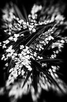 A black and white abstract of sword-like Phorimum amongst delicate foliage.