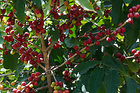 Yemen, le Djebel Haraz, culture du café. // Yemen, Djebel Haraz, coffee berries.