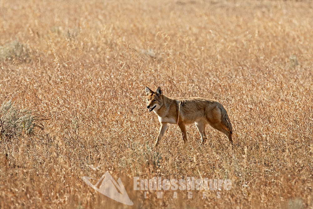 A Coyote walks through an open field of dry grasses always in search for its next meal.