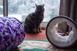 Tabby cat ignoring his toys looking out of a patio door in winter, Leicester, England, UK.