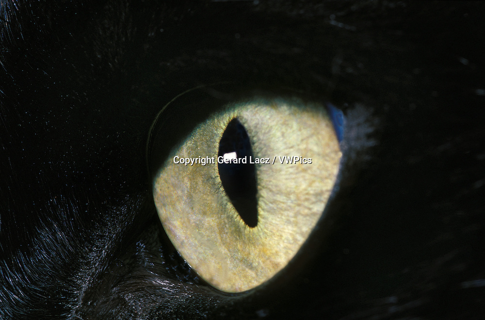 Black Domestic Cat, Close up of Eye
