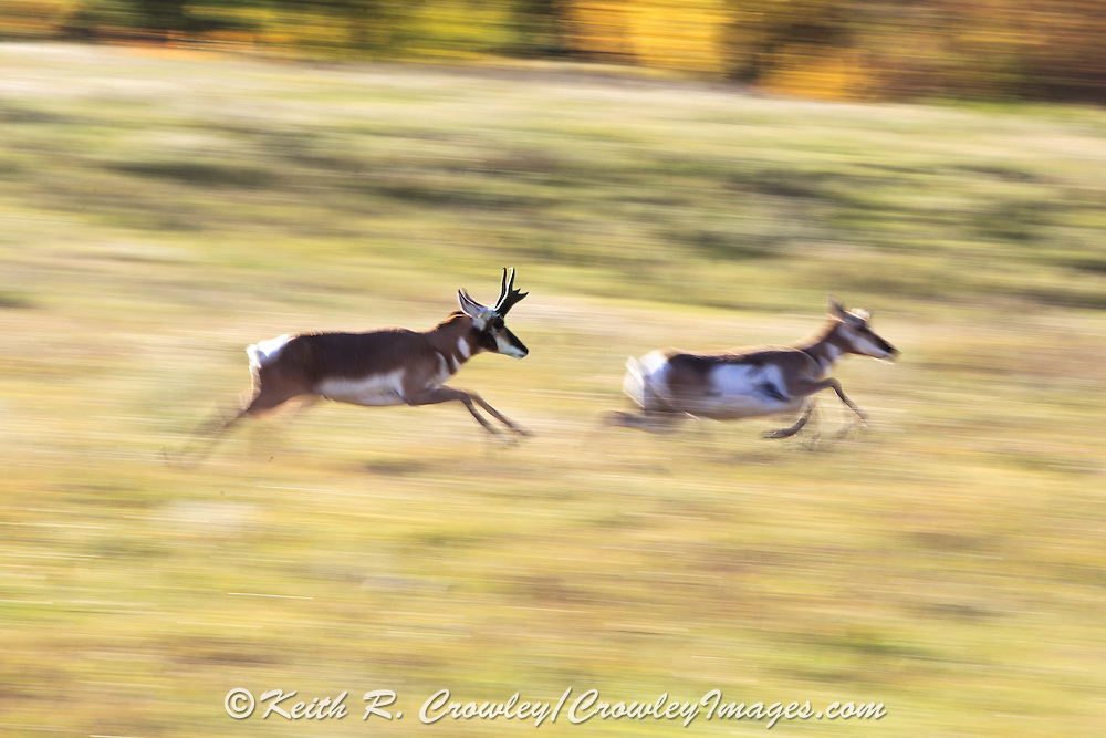 A buck Pronghorn (antelope) chases a doe during the rut in autumn habitat