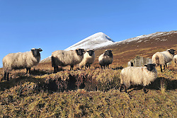 Mayo Mountain Flock,  Blackface Sheep out on the lower slopes of a snow capped Croagh Patrick Co Mayo yesterday.  <br /> Pic Conor McKeown
