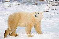 01874-109.01 Polar Bear (Ursus maritimus) near Hudson Bay, Churchill  MB, Canada
