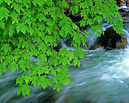 Leaves of a maple tree over a running stream, Yosemite National Park, California, USA.