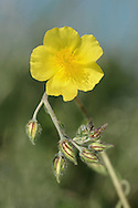 COMMON ROCK-ROSE Helianthemum nummulariuim (Cistaceae) Height to 40cm. Attractive, branched undershrub. Found in dry grassland, mostly on calcareous soils. FLOWERS are 2.5cm across with 5 crinkly yellow petals (Jun-Sep). FRUITS are capsules. LEAVES are narrow-oval, downy white below and paired; margins slightly inrolled. STATUS-Widespread and locally common in SE and E England but scarce further N and W.