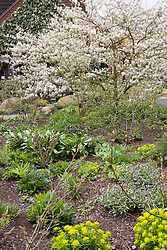 Amelanchier canadensis in John Massey's garden in spring. Snowy Mespilus, Shadbush