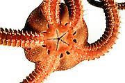 Glatter Schlangenstern oder Brauner Schlangenstern (Ophioderma longicauda)  Ventralseite - der Mund ist zusehen | (Ophioderma longicauda)